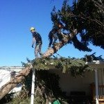 Dustin Brown and Raymond Rockett removing a blown down Austrian Pine