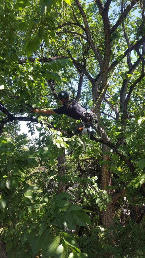 Arborist Trimming
