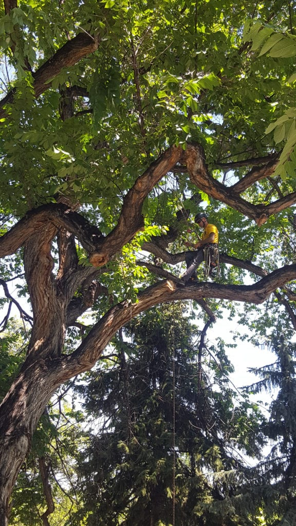 Dustin Brown Arborist Climbing