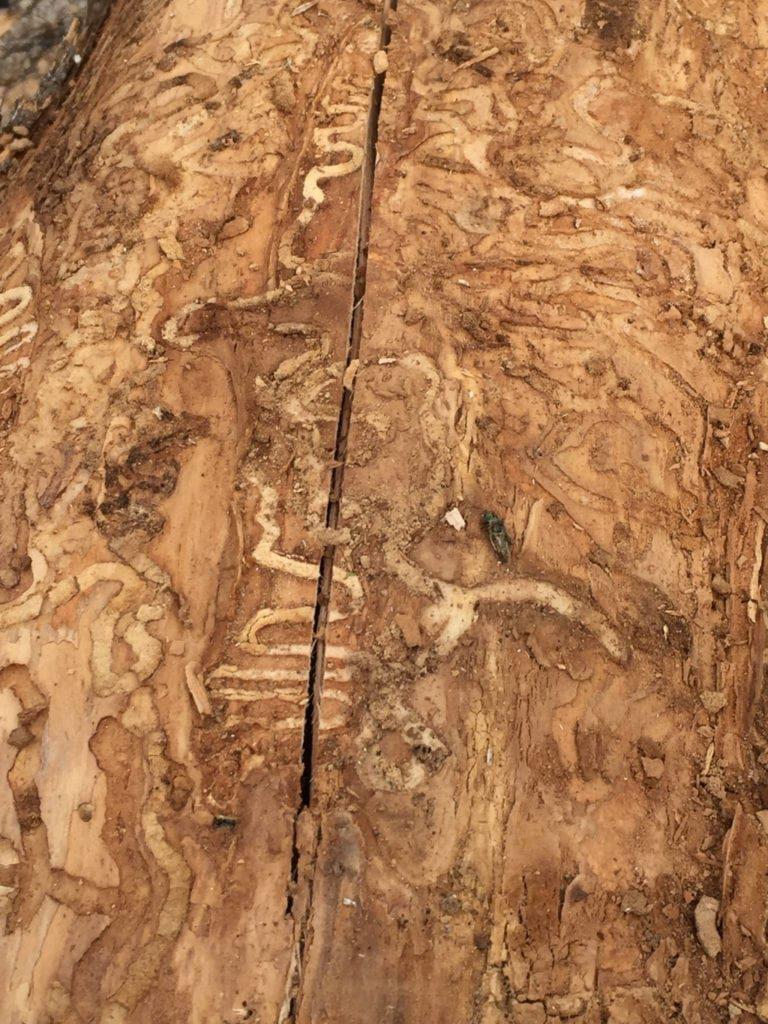 Emerald Ash Borer Treatment in Broomfield, Colorado