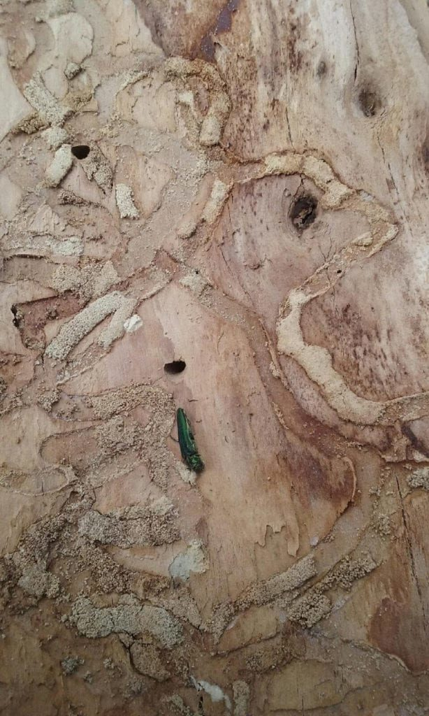 Emerald Ash Borer Treatment in Louisville, Colorado