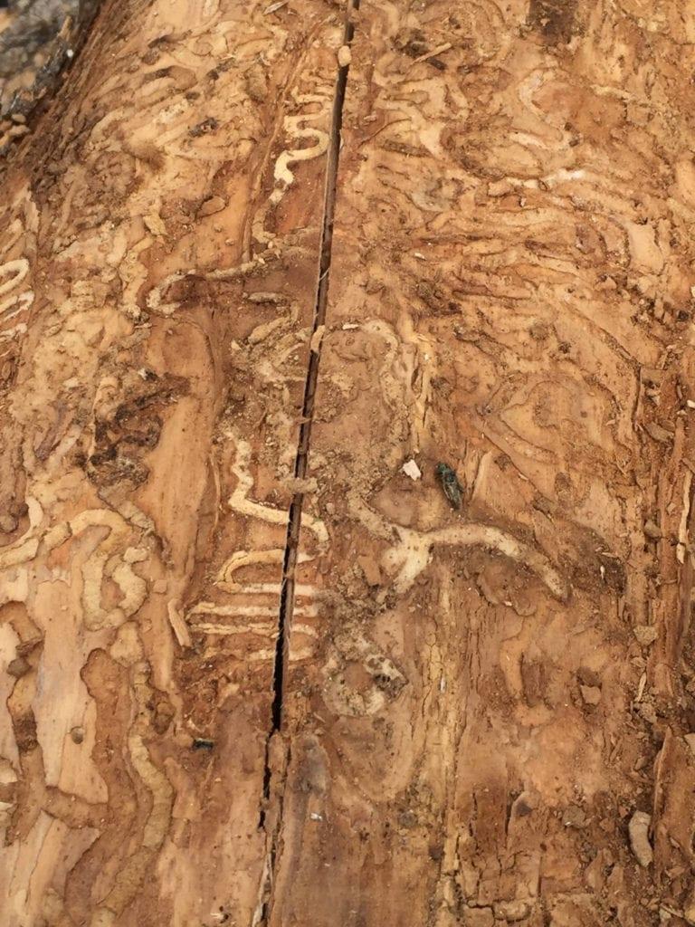 Berthoud, Colorado Emerald Ash Borer Treatment