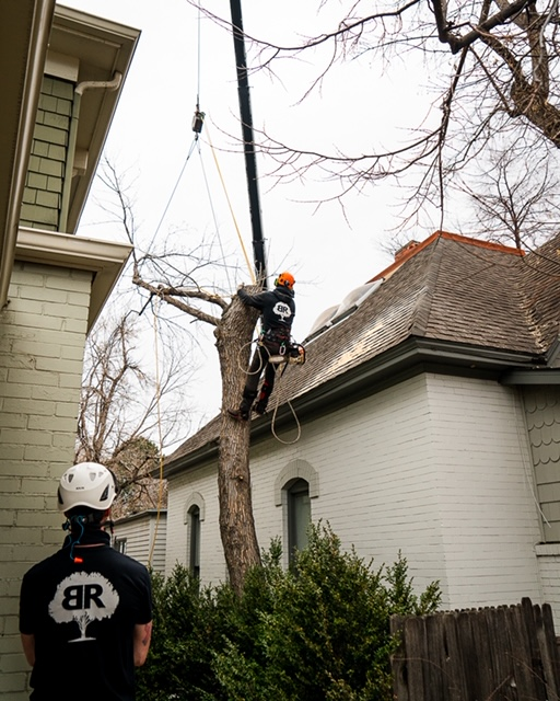longmont-tree-removal