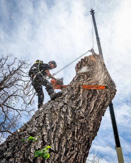 Berthoud tree removal